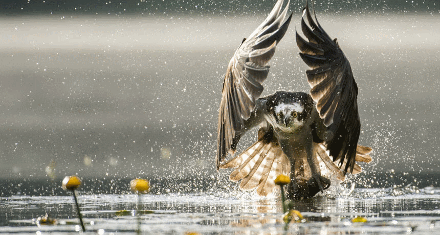 Bassenthwaite Lake Ospreys Natural Wonders of the Lake District
